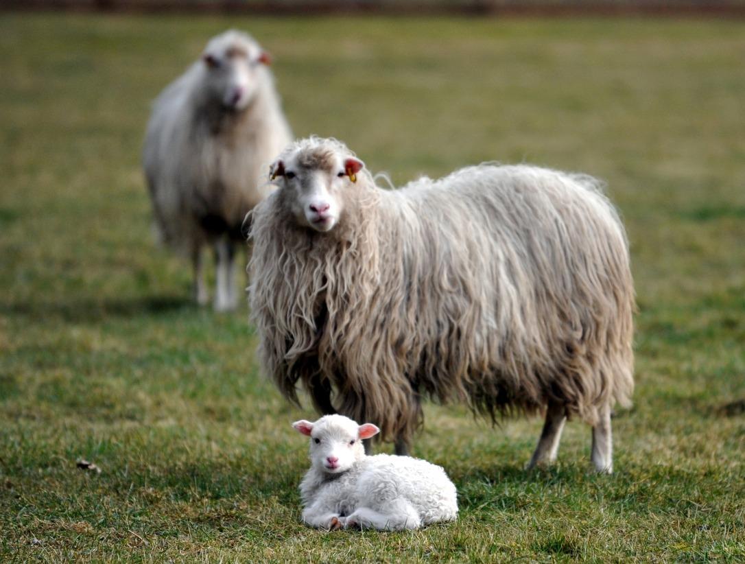 lamb-2018